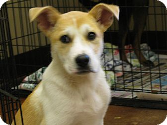 Akbash/Terrier (Unknown Type, Medium) Mix Puppy for adoption in Groton, Massachusetts - Donald T. Woof