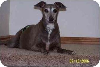 Italian Greyhound Dog for adoption in Centinnial, Colorado - Shadow