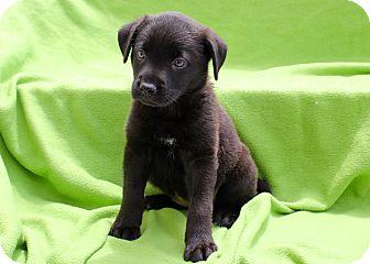 Labrador Retriever/Shepherd (Unknown Type) Mix Puppy for adoption in Los Angeles, California - Gummi Bear