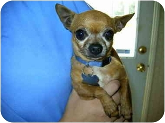 Chihuahua Dog for adoption in Lyman, South Carolina - Lacy