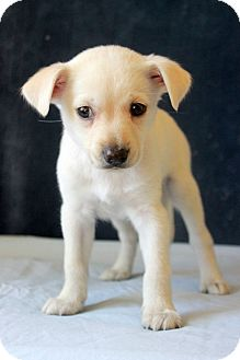 Labrador Retriever Mix Puppy for adoption in Waldorf, Maryland - Alanna ADOPTION PENDING