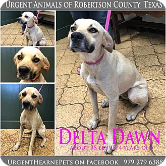 Black Mouth Cur Mix Dog for adoption in Hearne, Texas - Delta Dawn