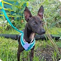 Adopt A Pet :: Bambina - San Antonio, TX