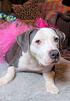 Boxer/Labrador Retriever Mix Dog for adoption in Minnesota, Minnesota - LULA