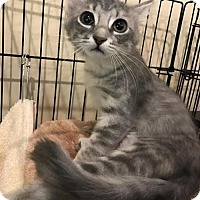 Domestic Mediumhair Cat for adoption in Tallahassee, Florida - Rosie