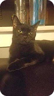 Domestic Shorthair Cat for adoption in Putnam, Connecticut - Bella