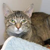 Domestic Shorthair/Domestic Shorthair Mix Cat for adoption in Westville, Indiana - Mona