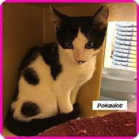 Adopt A Pet :: Pokadot - Miami, FL