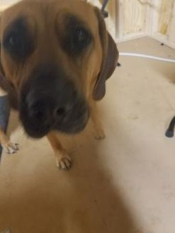 Bloodhound/Mastiff Mix Dog for adoption in Greenville, Kentucky - Keylee