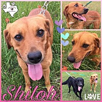 Adopt A Pet :: Shiloh - Quinlan, TX
