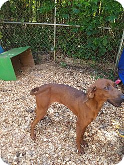 Redbone Coonhound Dog for adoption in Troy, South Carolina - Cali