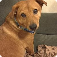 Adopt A Pet :: Foxy - corgi mix - Dallas, TX