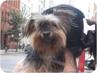 Yorkie, Yorkshire Terrier Dog for adoption in Long Beach, New York - Maximillian