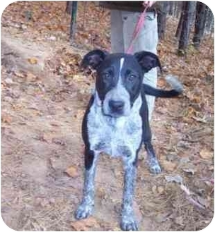Labrador Retriever/Bluetick Coonhound Mix Dog for adoption in North Wilkesboro, North Carolina - Macy