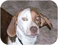 Beagle Dog for adoption in Ventnor City, New Jersey - PATRICE
