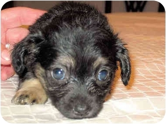 Pekingese/Chihuahua Mix Puppy for adoption in Mahwah, New Jersey - Sierra