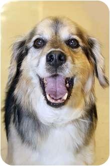 Cocker Spaniel/German Shepherd Dog Mix Dog for adoption in Northville, Michigan - Macy - Pending