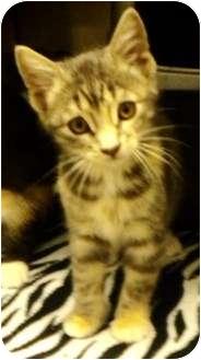 Domestic Shorthair Kitten for adoption in San Diego, California - Tali