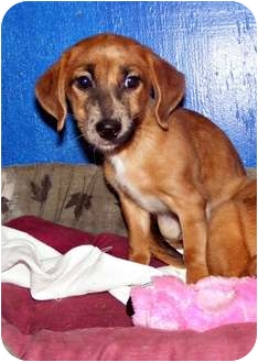 Dachshund Mix Puppy for adoption in Palm Harbor, Florida - Andy and Amos
