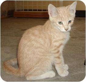 Domestic Shorthair Kitten for adoption in Larned, Kansas - Juniper