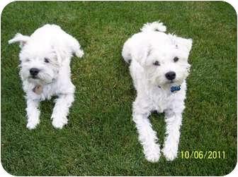 Westie, West Highland White Terrier/Maltese Mix Dog for adoption in Alliance, Nebraska - Clyde