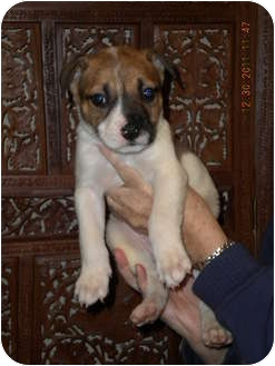 Australian Shepherd/Australian Cattle Dog Mix Puppy for adoption in Hammonton, New Jersey - Brad