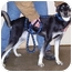 Photo 1 - Husky Mix Puppy for adoption in Somerset, Pennsylvania - Roxy