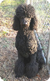 Standard Poodle Dog for adoption in Parsippany, New Jersey - Dancer