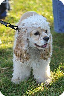 Cocker Spaniel Puppy for adoption in Tacoma, Washington - SAGE