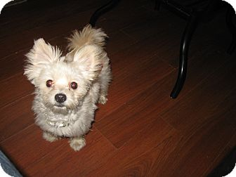 Pomeranian/Maltese Mix Dog for adoption in Wauseon, Ohio - Teddy