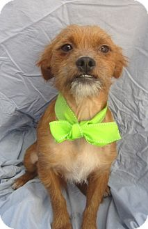 Brussels Griffon/Border Terrier Mix Dog for adoption in Irvine, California - CHEWY