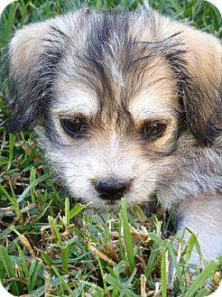 Schnauzer (Miniature)/Cairn Terrier Mix Puppy for adoption in La Habra Heights, California - Scout