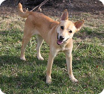 Australian Kelpie Dog for adoption in Staunton, Virginia - Leah Lou Ann