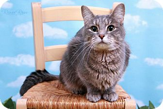 Domestic Shorthair Cat for adoption in Sterling Heights, Michigan - Macy