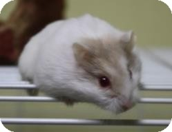 Hamster for adoption in West Des Moines, Iowa - Sissy