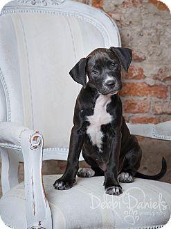 Labrador Retriever/Boxer Mix Puppy for adoption in McKinney, Texas - Lucy