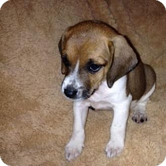 Beagle Mix Puppy for adoption in ST LOUIS, Missouri - Mike Douglas