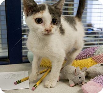 Domestic Shorthair Kitten for adoption in North Brunswick, New Jersey - Nod
