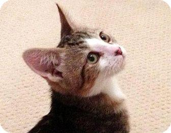 Domestic Shorthair Kitten for adoption in HILLSBORO, Oregon - Louie