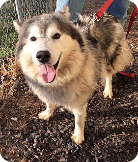 Siberian Husky Mix Puppy for adoption in Boyertown, Pennsylvania - Avalanche