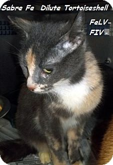 Domestic Mediumhair Cat for adoption in Hazard, Kentucky - Sabre