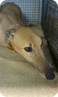 Greyhound Dog for adoption in Randleman, North Carolina - Vaolor