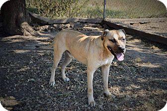 Mastiff Mix Dog for adoption in Glenpool, Oklahoma - Thor