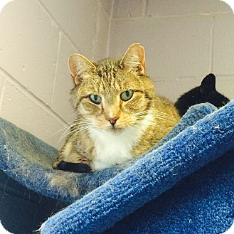 Domestic Shorthair Cat for adoption in Oakland, New Jersey - Hamilton