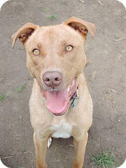 Labrador Retriever Mix Dog for adoption in Brookings, South Dakota - Bella