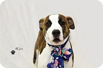 Pit Bull Terrier Mix Puppy for adoption in Adrian, Michigan - Darcy