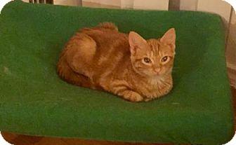 Domestic Shorthair Kitten for adoption in Bulverde, Texas - Pinecone