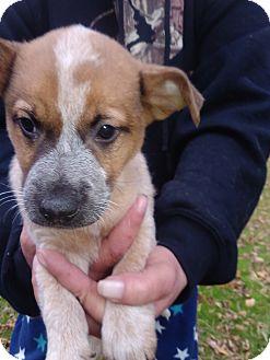 Australian Cattle Dog/Terrier (Unknown Type, Medium) Mix Puppy for adoption in Kendall, New York - Art