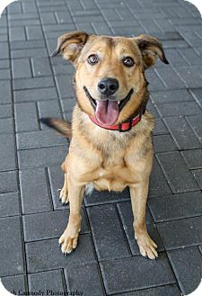 Shepherd (Unknown Type) Mix Dog for adoption in Jacksonville, North Carolina - Riley