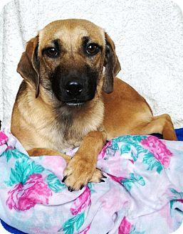 Labrador Retriever/Dachshund Mix Puppy for adoption in Elkton, Maryland - Bell